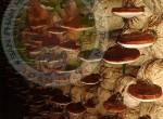 Bán nấm linh chi tại tphcm