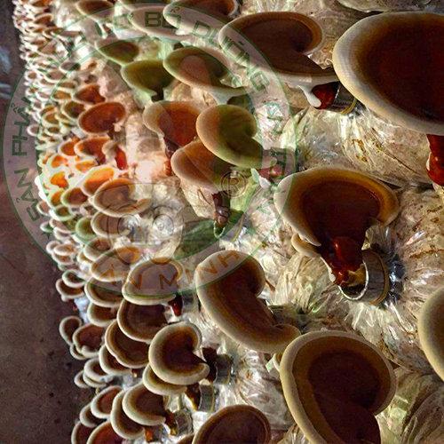 Các loại nấm Linh Chi được trồng tại Việt Nam và tác dụng