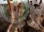Kỹ thuật trồng nấm mối Thái