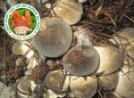 Mô hình trồng nấm rơm đạt năng xuất cao tại TPHCM