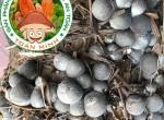 Phương pháp ủ rơm khi trồng nấm rơm và cách xử lý