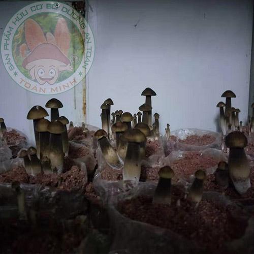 Nấm mối đen trong nhà trồng nấm